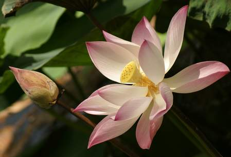 De heilige lotus is in Vietnam een nationaal symbool